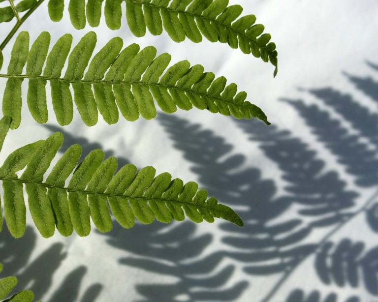 photo of fern and shadow